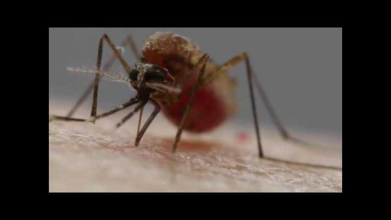 вражаюче відео, як комар п'є людську кров