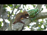 Драка хамелеонов / Chameleon Fight, Cocoa Farm in Ambanja, Madagascar