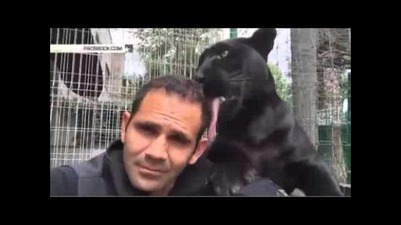 Спаситель больших кошек целуется с пантерой