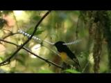 брачные танцы райских птиц