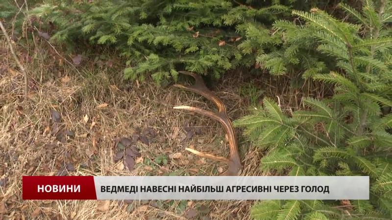 У Карпатах чоловік врятував брата якого ледь не розірвав ведмідь
