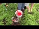 Высадка рассады томатов в сидераты в теплицу.
