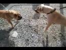 Притравка Pitbull Chappy VS Charpei Собачий Бой Питбуль Чаппи VS Шарпей