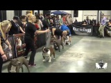 Bully Talk with Zeb Pits....ABKC World Cup 2015