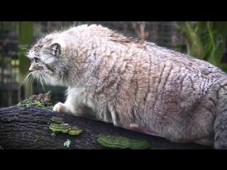 Манул - степной кот