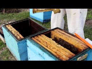Пчеловодство. Пересаживаем пчел после зимовки.