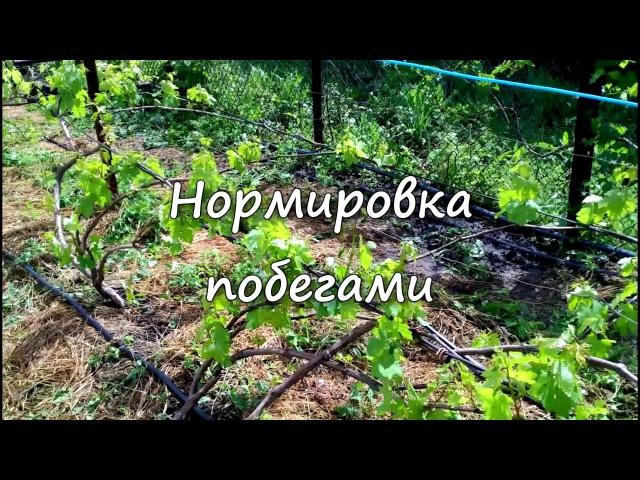 Нормировка виноградного куста побегами