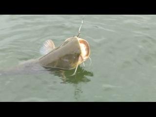 Огромный сом атаковал маленького. Рыбалка ловля с лодки на живца