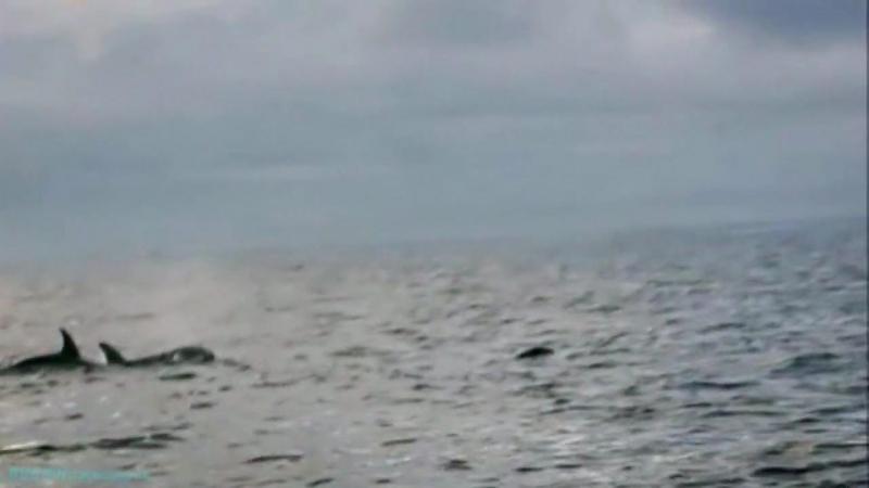 «Следствие по делам хищников: Касатка, сожравшая акулу» (Документальный, животные, 2009)