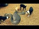 Питон убивает собаку. Змея против собаки 2