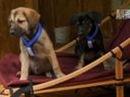 Чинук. Ездовая собака. Chinook Puppies get Sledding | Too Cute!