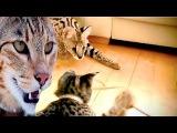 Ашера - Кошка-леопард Ashera cat