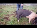 Как выпрямить хвост свинье (З Л О Б У И Н)