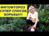 ФИТОФТОРОЗ - Эпидемия началась! Обрабатываем вместе со мной помидоры, огурцы от  ...