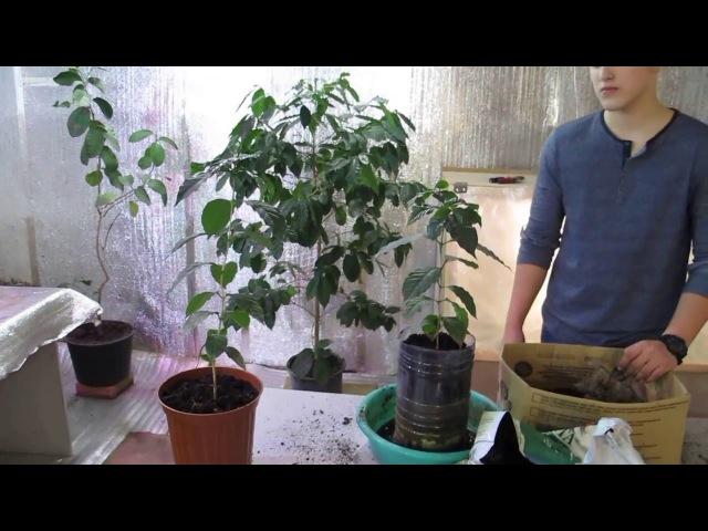 Пересадка кофейного дерева