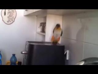 Крутой татарский попугай. Отжигает парень ! (1)