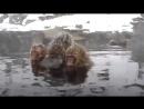 ПРИРОДА.Японские макаки зимой (Нагано. HD)