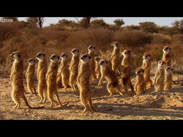 Drongo Bird Tricks Meerkats   Africa   BBC