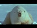 BBC Ребятам о зверятах все серии Белый медведь