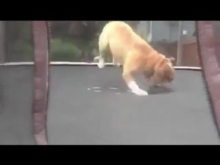 Собака резвится на батуте