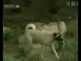 Турецкий кангал по кличке Аслан. Турецкий кангал собака № 1 в мире.