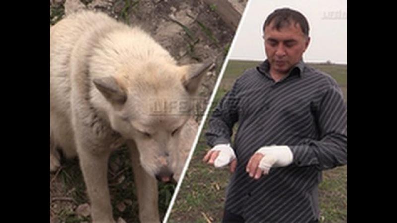 Житель Ингушетии поймал волка голыми руками защищая своих детей