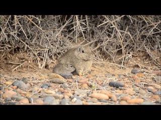 Southern mountain cavy / Южная горная свинка / Microcavia australis