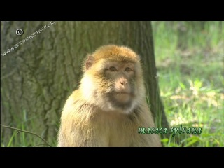 Barbary macaque / Варварийская обезьяна, или Магот / Macaca sylvanus