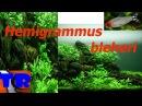 Родостомус или Красноносая тетра Hemigrammus bleheri