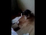 Изабель грызет тапки