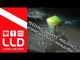Feeding sharks. Maldives. Кормёжка акул. Мальдивы