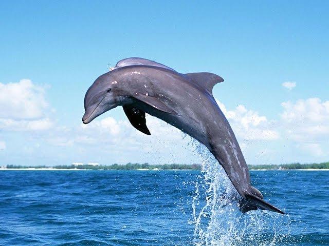 Морские акробаты. Невероятные прыжки дельфинов.