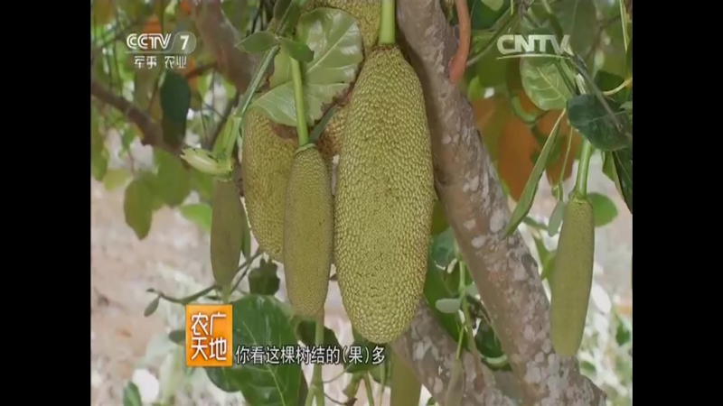Джекфрут ''Боломи'', или Канун, или Индийское хлебное дерево - выращивание растения в провинции Хайнань.