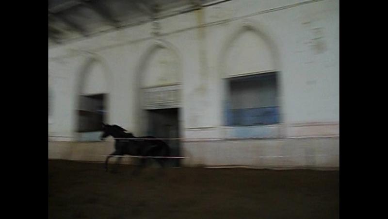 Дублерша(Барон-Дворянка),2014г.р.,РВП.