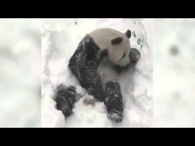 Панда купается в снегу,панда радуется первому снегу в США l Panda bathing in snow