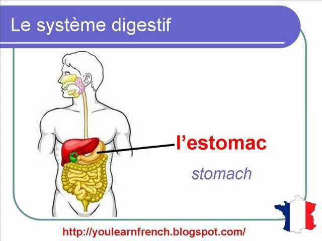 The Digestive System French Vocabulary Learn A Language 8927980