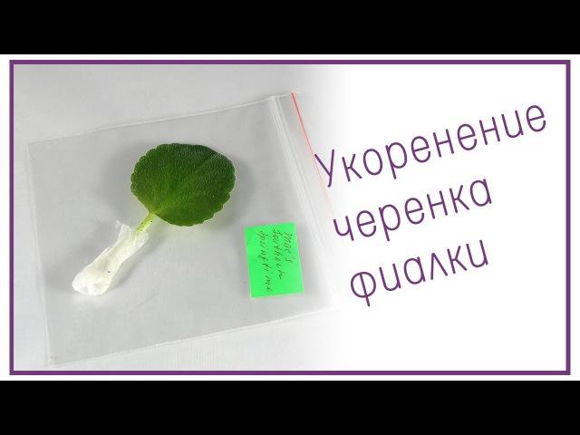Укоренение листового черенка фиалки (сенполии)