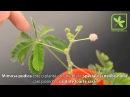 Mimosa pudica - Planta miscatoare