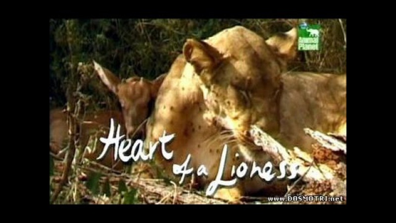 Animal Planet: Сердце львицы / Heart of a Lioness (2003)