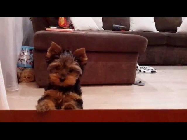 Йоркширский Терьер щенок лает громко