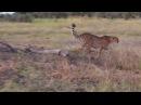 Гепард притесняет гиену