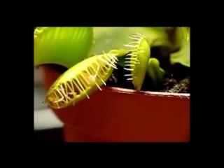 Плотоядные растения.