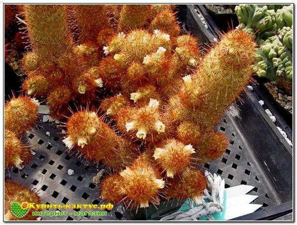 Правила посадки кактусов - Комнатные растения
