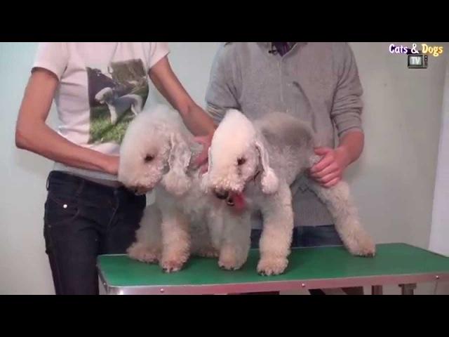 CatsDogsTV - УДИВИТЕЛЬНЫЙ МИР СОБАК - БЕДЛИНГТОН ТЕРЬЕР / BEDLINGTON TERRIER DOGS