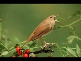 Nachtegaal Common Nightingale singing