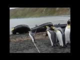 Пингвины против веревки