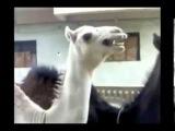 Лама которая смеётся как Питер Гриффин