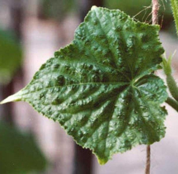 Как определить болезни огурцов по листьям-вирус огуречной мозаики