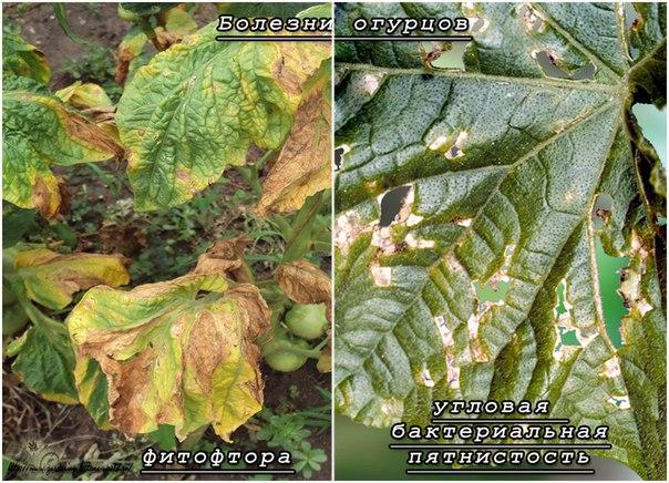 Как определить болезни огурцов по листьям