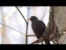 Чёрный дрозд, весенняя песенка